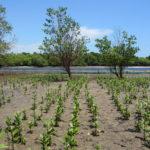 Mangrove planting in Gazi Bay, Kenya  (Source: Romy Chevallier)